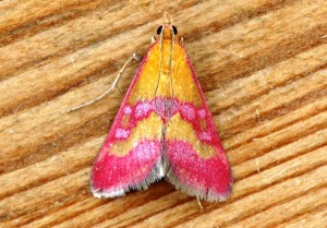 A rare Scarce Crimson and Gold moth found on Magilligan Training Area. (Crown Copyright)