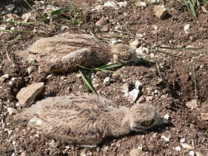 Stone Curlew chicks on the MOD estate. (Crown Copyright)