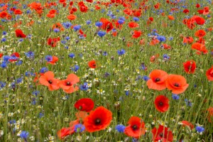 When the wild flowers are grown, they may look something like this.
