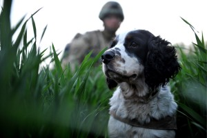 A search dog trained sniff out explosives and his handler patrol through muddy fields with 2nd Battalion The Parachute Regiment in Afghanistan. (Sgt Rupert Frere, Crown Copyright, MOD2011)