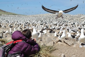 At a Black Browed albatross colony on the Falkland Islands. [Simon Browning]