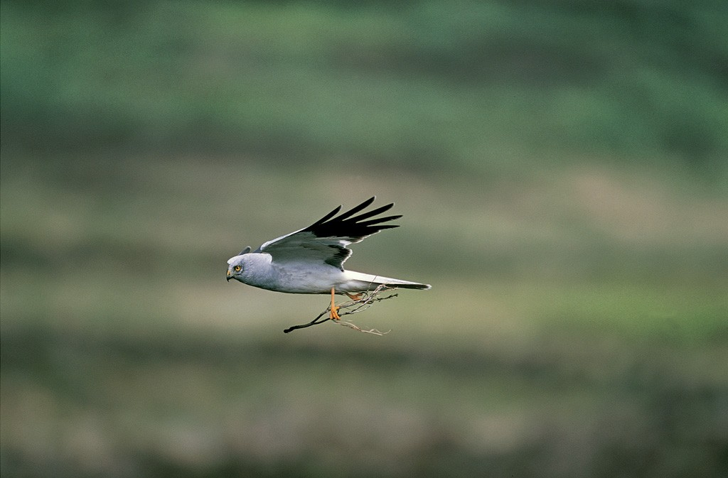 An adult male hen harrier. [Copyright RSPB]