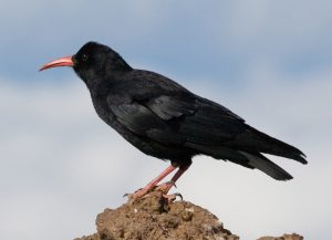 Much of Bob's work centred around choughs.