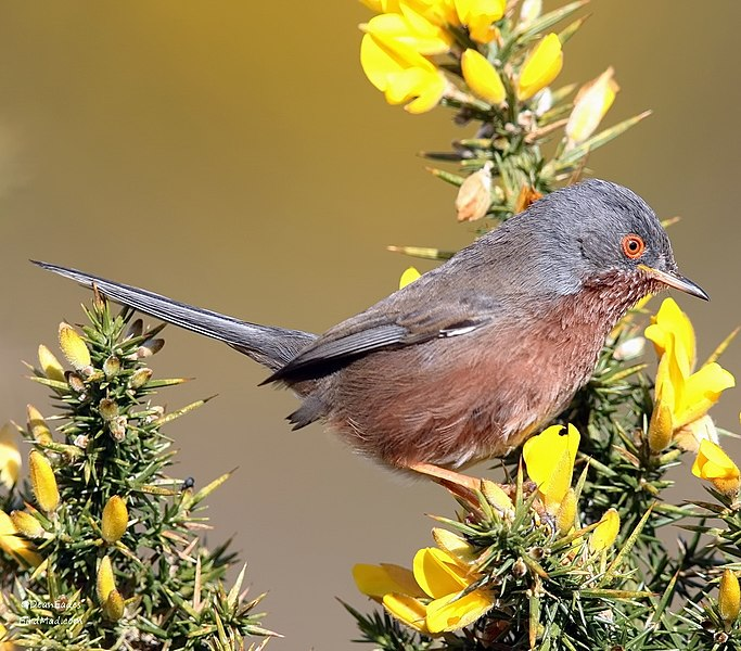 Dartmoor Warbler [Copyright, Creative Commons 2018]