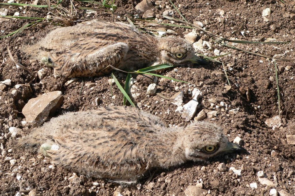 Two stone curlew chicks lying on the ground.