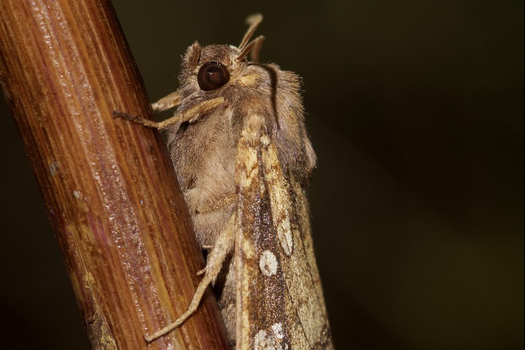 A Fisher's Estuarine moth perched on a stick.