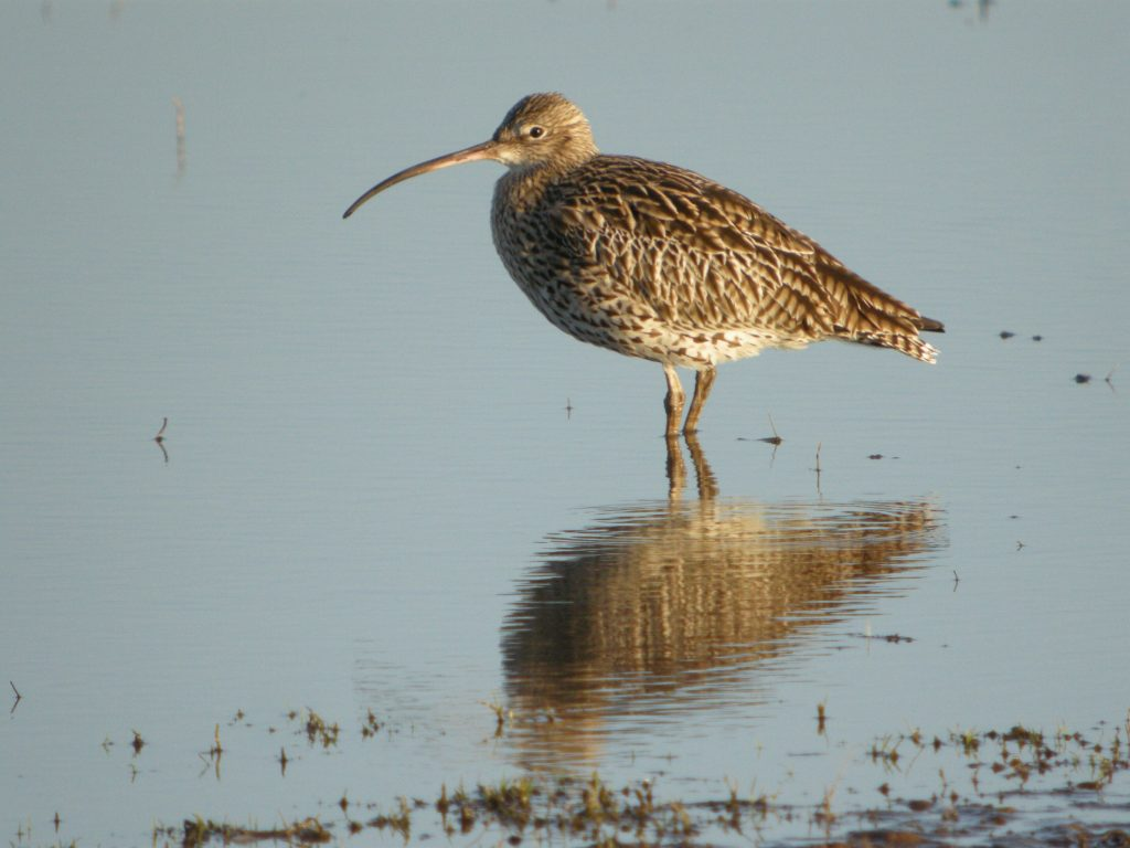 Adult curlew wading in body of water