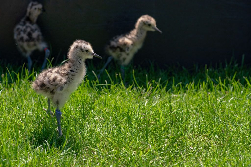 Three newly hatched curlew chicks at Slimbridge Nature Reserve