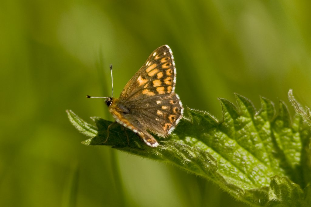 Duke of burgundy butterfly sitting on a leaf. It is dark brown with light brown square parts on its wings