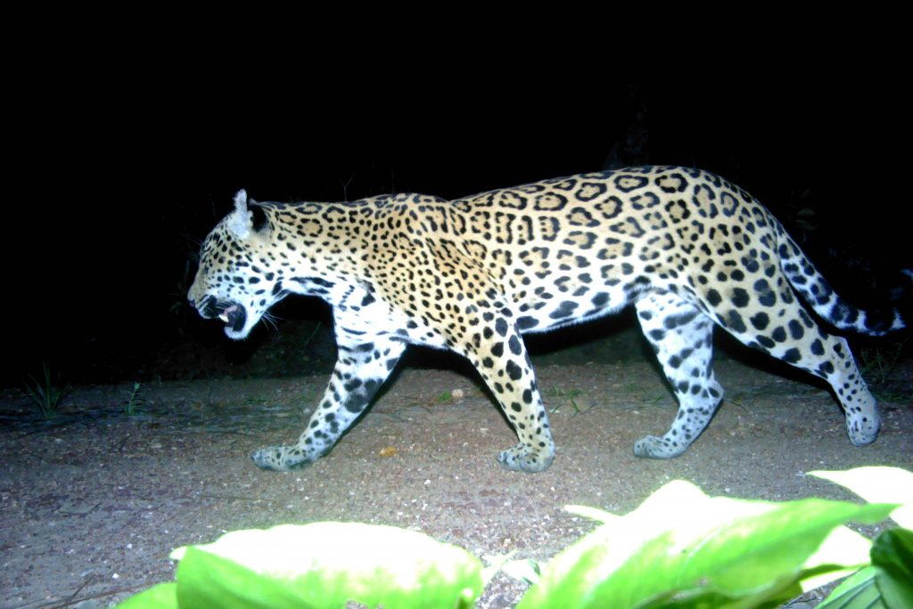 A night time shot of a jaguar walking through the jungle. In the foreground is a green plant, lit brightly by the camera's flash. The jaguar is a big cat with light fur and many darker patches to create a mottled effect.