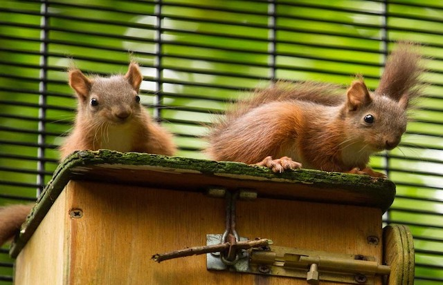 Two red squirrels are sitting on a wooden box facing forward. They are inside a black cage and there are green trees behind them.