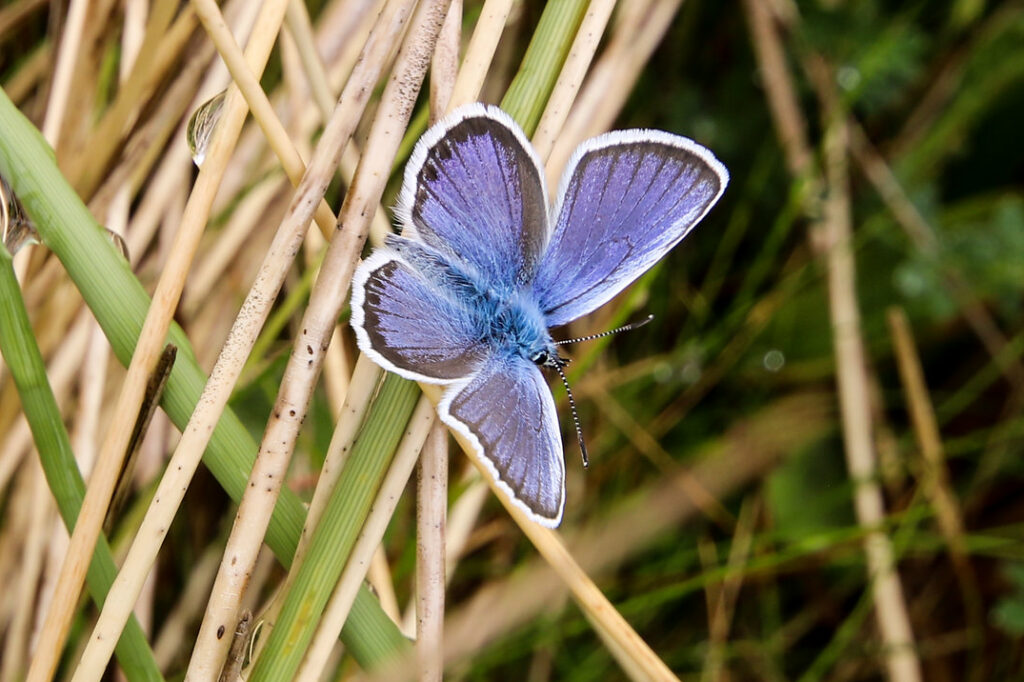 A blue butterfly on some long grass.